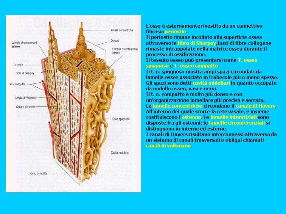 Losso è esternamente rivestito da un connettivo fibroso:periostio. Il periostio rimane incollato alla superficie ossea attraverso le fibre di Sharpey,