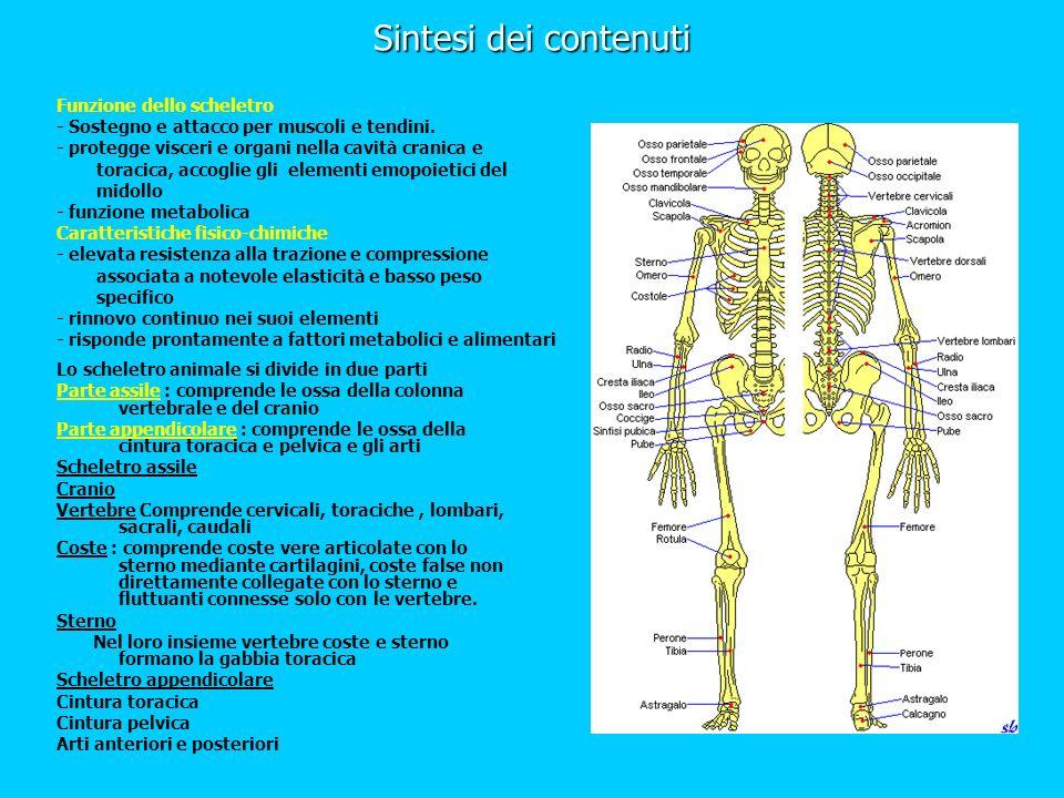 Sintesi dei contenuti Lo scheletro animale si divide in due parti Parte assile : comprende le ossa della colonna vertebrale e del cranio Parte appendi