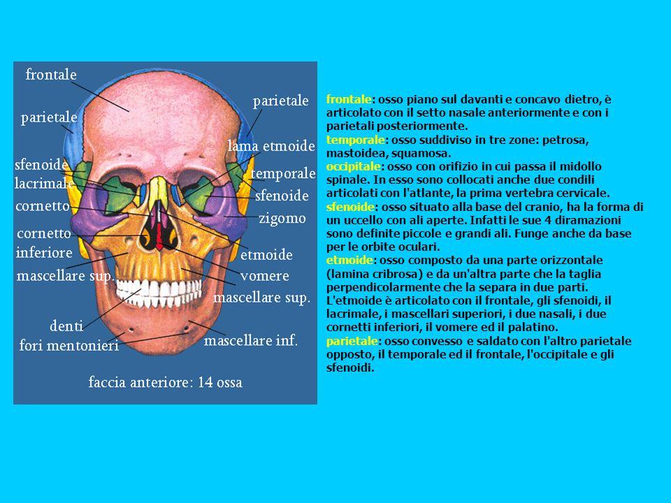 frontale: osso piano sul davanti e concavo dietro, è articolato con il setto nasale anteriormente e con i parietali posteriormente. temporale: osso su