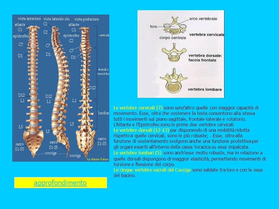 . Le vertebre cervicali (7) sono senz'altro quelle con maggior capacità di movimento. Esse, oltre che sostenere la testa consentono alla stessa tutti