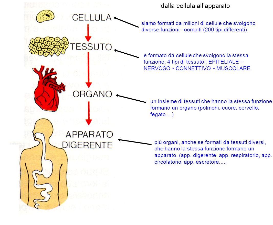 sistema e apparato UN SISTEMA è più organi composti dallo stesso tessuto.