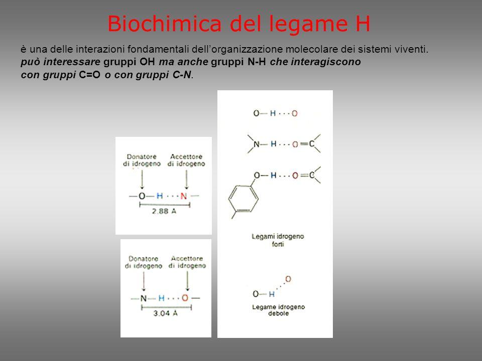 Ponti H nella struttura proteica ad elica i ponti H si stabiliscono lungo la catena di aminoacidi tra il gruppo C=O interessato al legame peptidico con laminoacido successivo ed il gruppo N-H di un legame peptidico che si trova 4 aminoacidi più avanti.