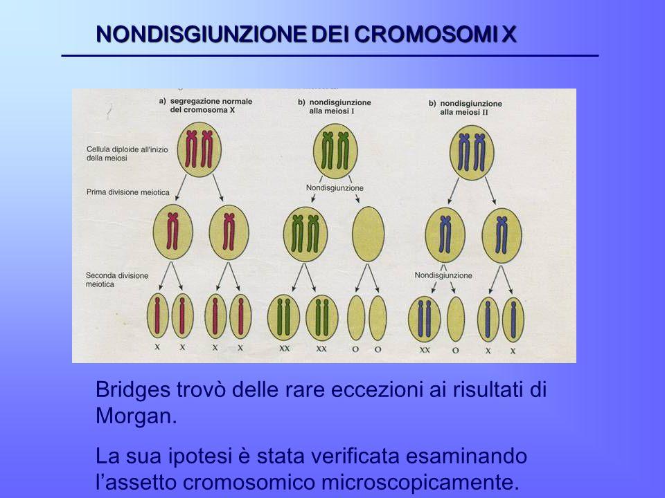 NONDISGIUNZIONE DEI CROMOSOMI X Bridges trovò delle rare eccezioni ai risultati di Morgan. La sua ipotesi è stata verificata esaminando lassetto cromo