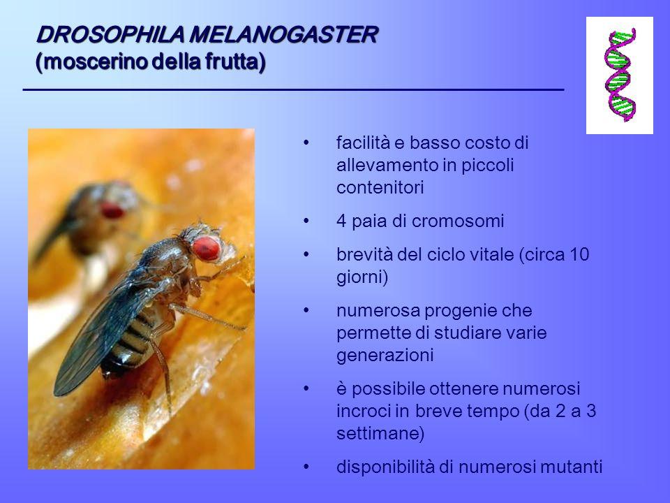 DROSOPHILA MELANOGASTER (moscerino della frutta) facilità e basso costo di allevamento in piccoli contenitori 4 paia di cromosomi brevità del ciclo vi