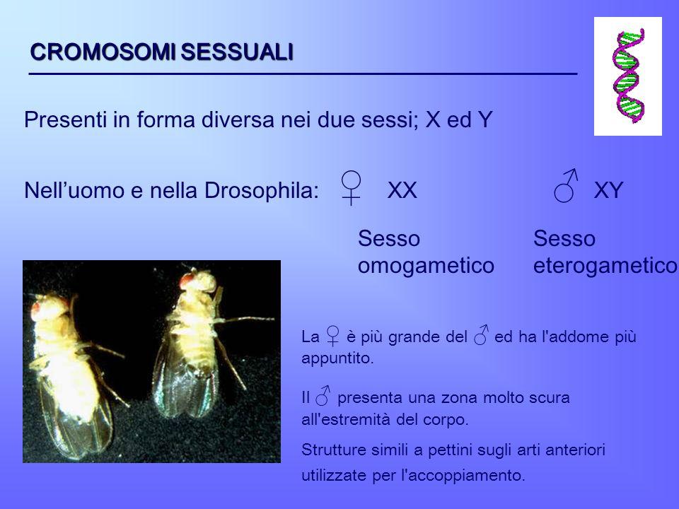 CROMOSOMI SESSUALI Presenti in forma diversa nei due sessi; X ed Y Nelluomo e nella Drosophila: XX XY Sesso omogametico Sesso eterogametico La è più g
