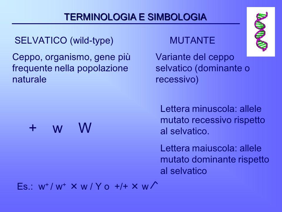 TERMINOLOGIA E SIMBOLOGIA SELVATICO (wild-type) Ceppo, organismo, gene più frequente nella popolazione naturale MUTANTE Variante del ceppo selvatico (