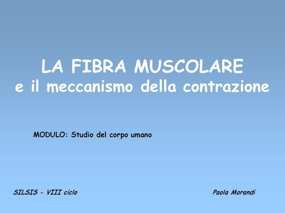 LA FIBRA MUSCOLARE e il meccanismo della contrazione MODULO: Studio del corpo umano SILSIS - VIII cicloPaola Morandi