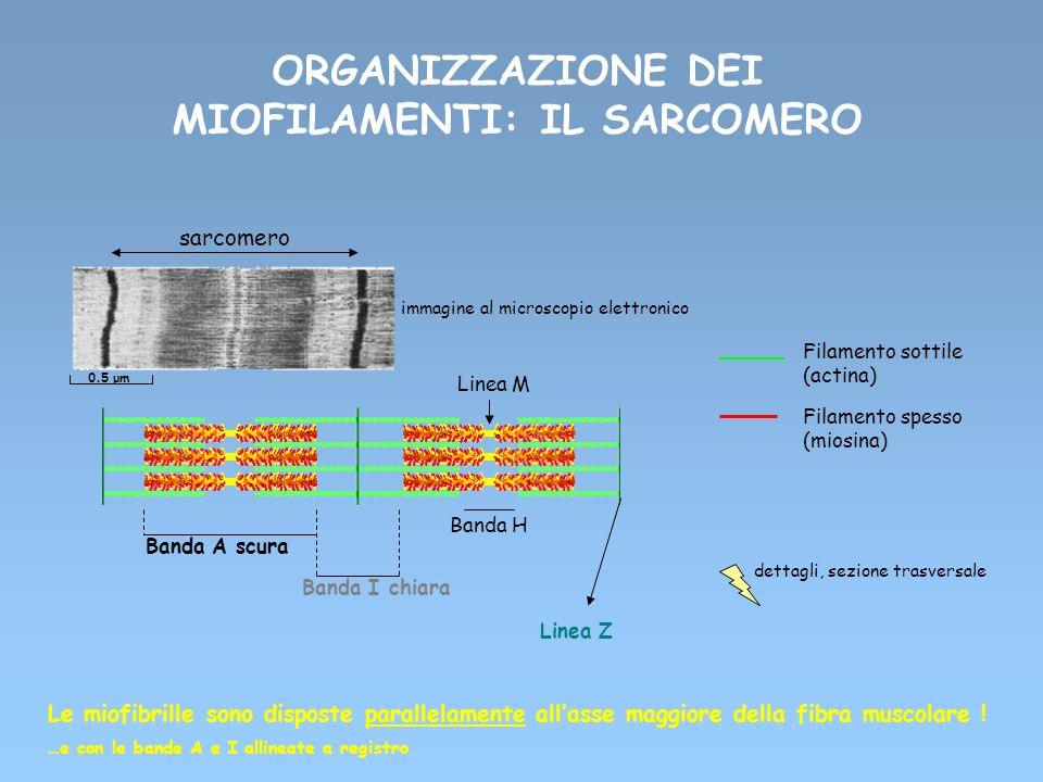 ORGANIZZAZIONE DEI MIOFILAMENTI: IL SARCOMERO Filamento sottile (actina) Filamento spesso (miosina) sarcomero Linea Z immagine al microscopio elettron