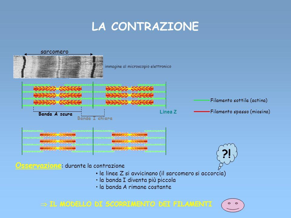 LA CONTRAZIONE Filamento sottile (actina) Filamento spesso (miosina) sarcomero Linea Z Banda A scura Banda I chiara immagine al microscopio elettronic