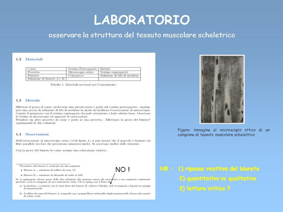 LABORATORIO osservare la struttura del tessuto muscolare scheletrico Figura: immagine al microscopio ottico di un campione di tessuto muscolare schele