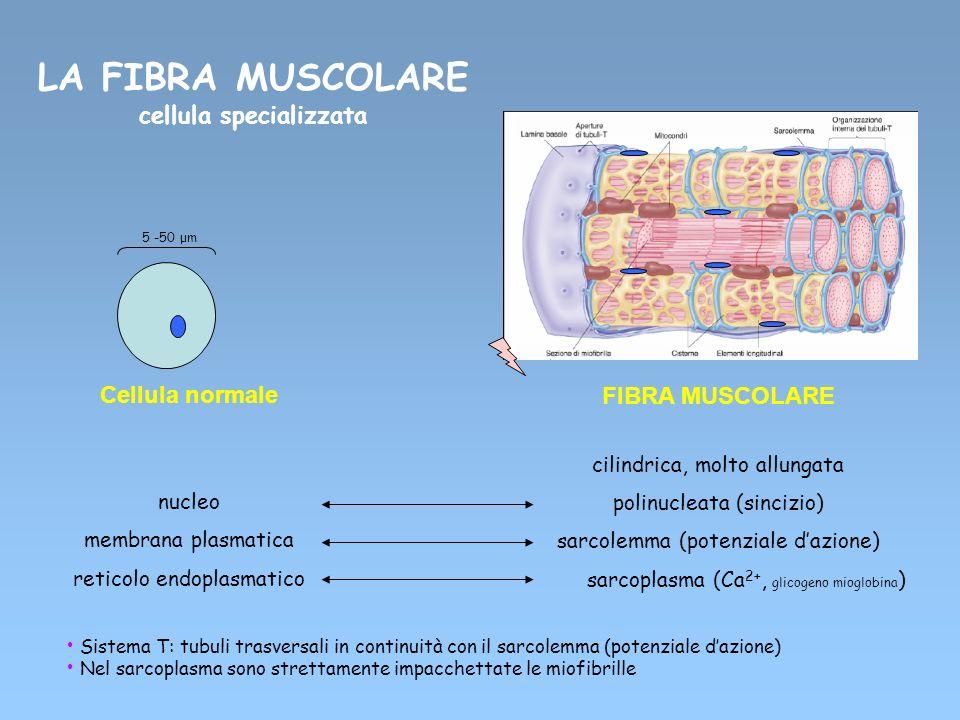 Cellula normale nucleo membrana plasmatica reticolo endoplasmatico FIBRA MUSCOLARE cilindrica, molto allungata polinucleata (sincizio) sarcolemma (pot