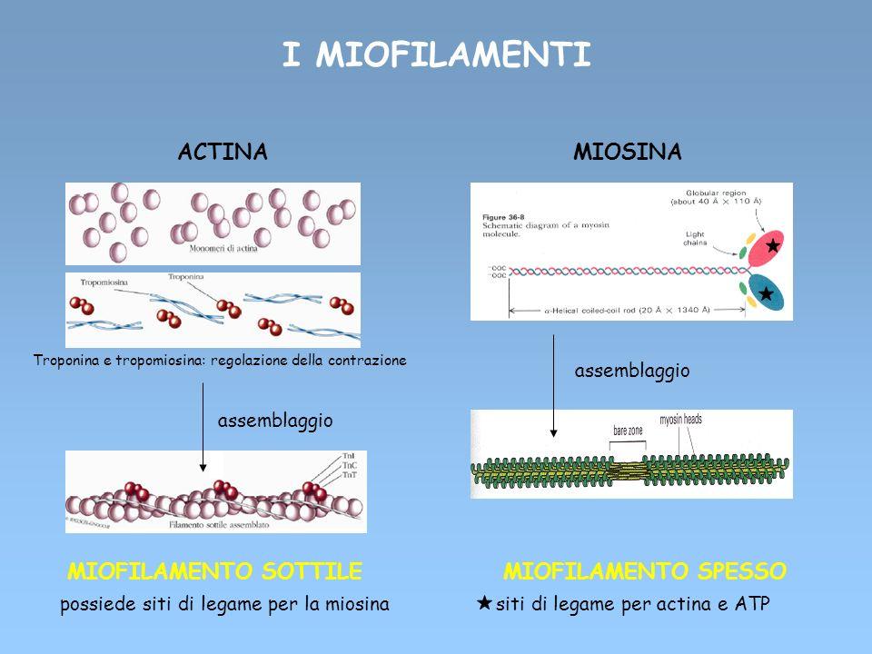 I MIOFILAMENTI ACTINA MIOSINA assemblaggio MIOFILAMENTO SOTTILE MIOFILAMENTO SPESSO possiede siti di legame per la miosina siti di legame per actina e