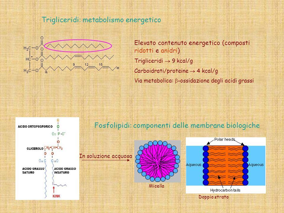 Fosfolipidi: componenti delle membrane biologiche In soluzione acquosa Trigliceridi: metabolismo energetico Micella Doppio strato Elevato contenuto en