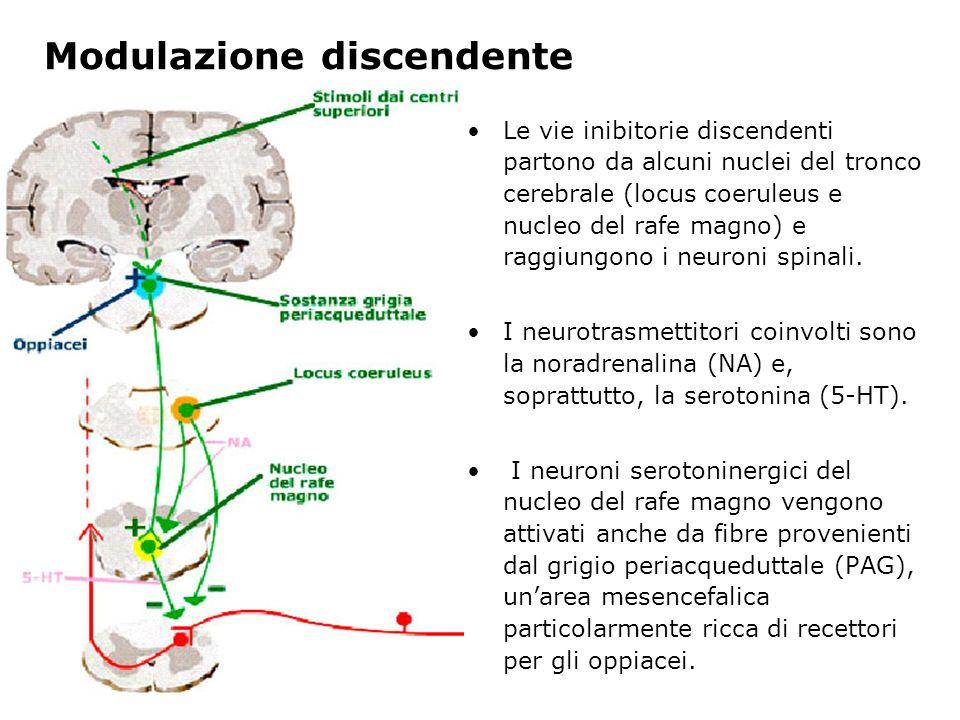 Modulazione discendente Le vie inibitorie discendenti partono da alcuni nuclei del tronco cerebrale (locus coeruleus e nucleo del rafe magno) e raggiu
