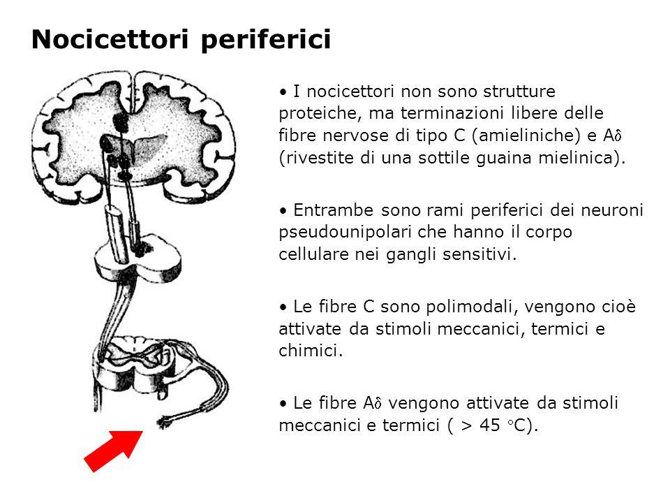 Nocicettori periferici Le differenze anatomiche fra i due tipi di nocicettori (presenza o meno di rivestimento mielinico) determinano differenti dimensioni e velocità di conduzione degli impulsi Lungo le fibre C, la velocità di conduzione è particolarmente bassa
