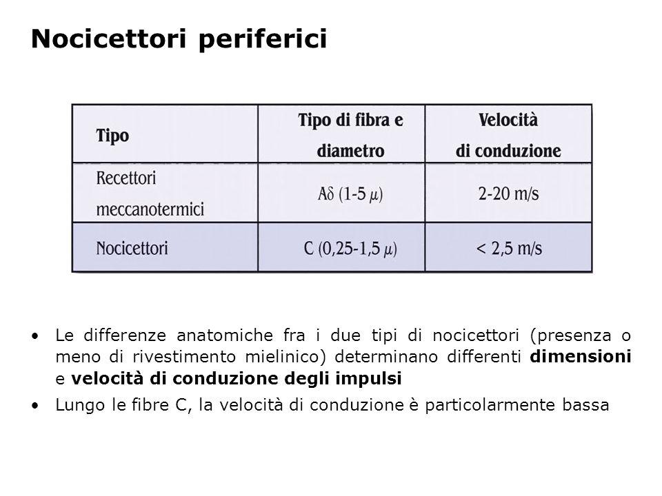 Nocicettori periferici Le differenze anatomiche fra i due tipi di nocicettori (presenza o meno di rivestimento mielinico) determinano differenti dimen
