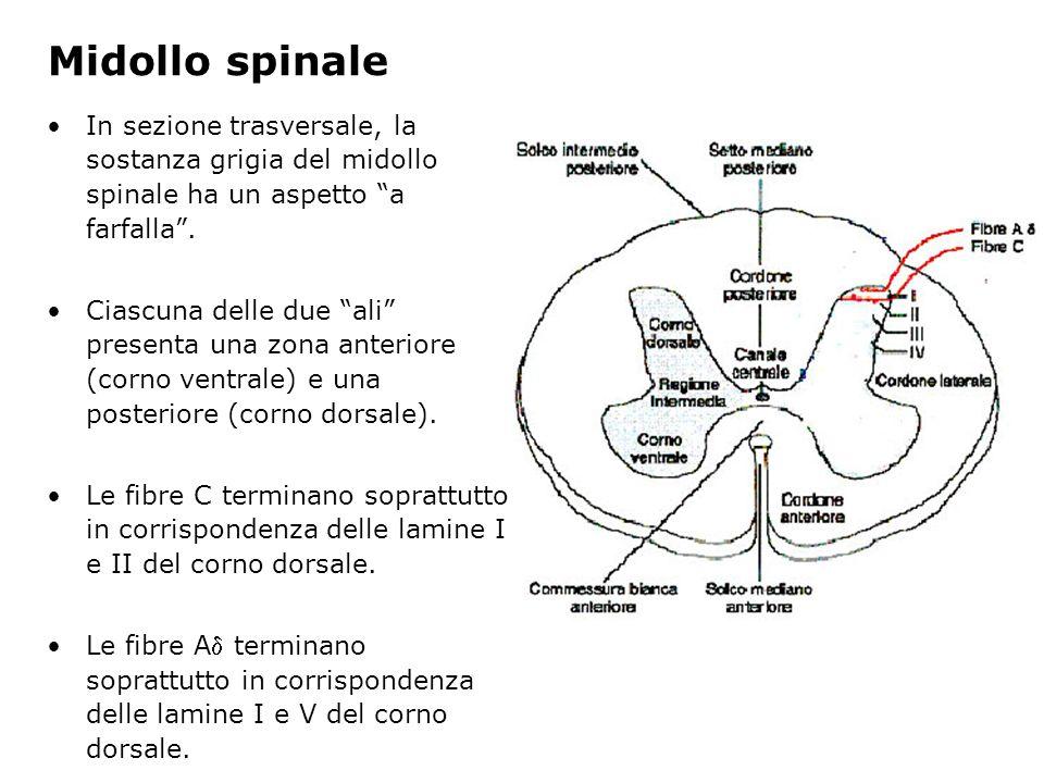 Midollo spinale In sezione trasversale, la sostanza grigia del midollo spinale ha un aspetto a farfalla. Ciascuna delle due ali presenta una zona ante