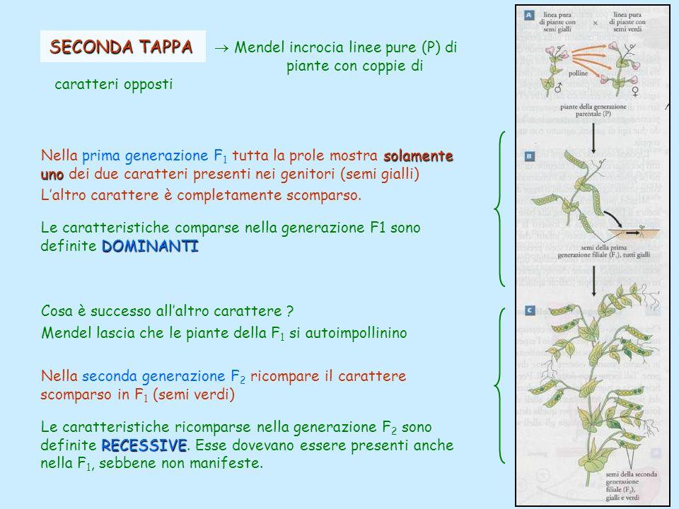 SECONDA TAPPA SECONDA TAPPA Mendel incrocia linee pure (P) di piante con coppie di caratteri opposti solamente uno Nella prima generazione F 1 tutta l
