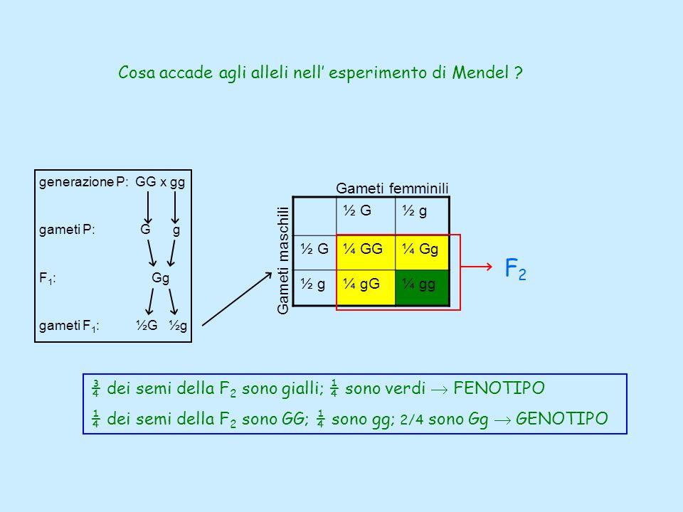 Cosa accade agli alleli nell esperimento di Mendel ? ½ G½ g ½ G¼ GG¼ Gg ½ g¼ gG¼ gg Gameti femminili Gameti maschili ¾ dei semi della F 2 sono gialli;