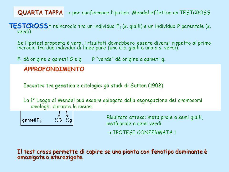 QUARTA TAPPA QUARTA TAPPA per confermare lipotesi, Mendel effettua un TESTCROSS TESTCROSS TESTCROSS = reincrocio tra un individuo F 1 (s. gialli) e un