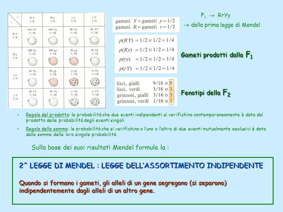 2^ LEGGE DI MENDEL : LEGGE DELLASSORTIMENTO INDIPENDENTE Quando si formano i gameti, gli alleli di un gene segregano (si separano) indipendentemente d