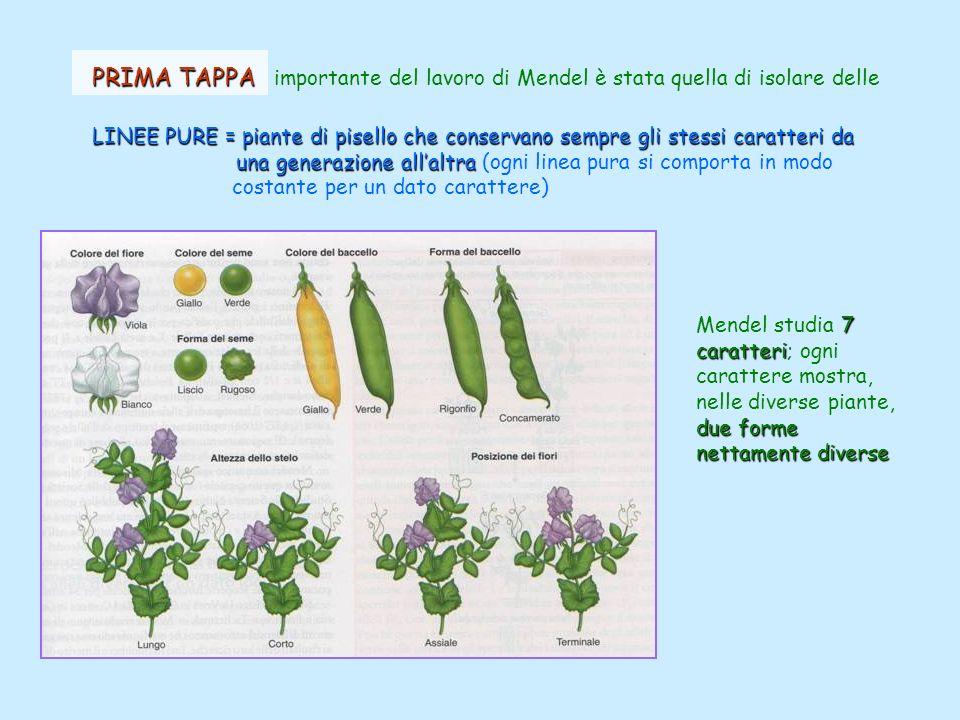 PRIMA TAPPA PRIMA TAPPA importante del lavoro di Mendel è stata quella di isolare delle LINEE PURE = piante di pisello che conservano sempre gli stess