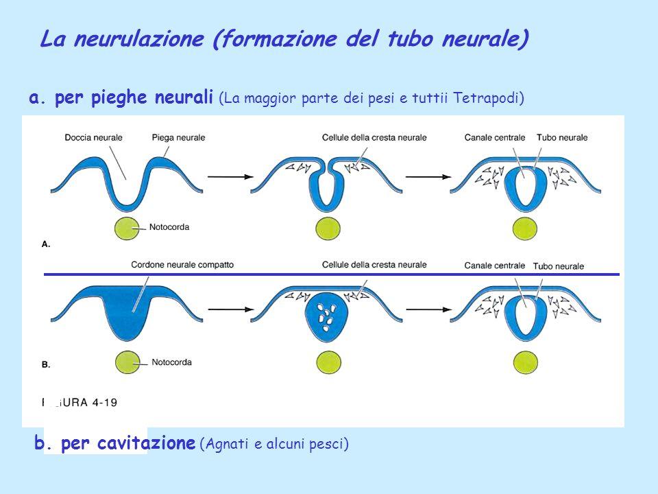 La neurulazione (formazione del tubo neurale) a. per pieghe neurali (La maggior parte dei pesi e tuttii Tetrapodi) b. per cavitazione (Agnati e alcuni