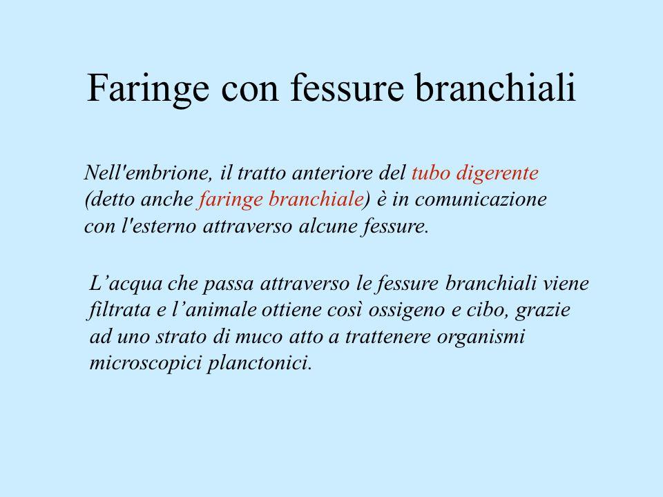 Faringe con fessure branchiali Nell'embrione, il tratto anteriore del tubo digerente (detto anche faringe branchiale) è in comunicazione con l'esterno