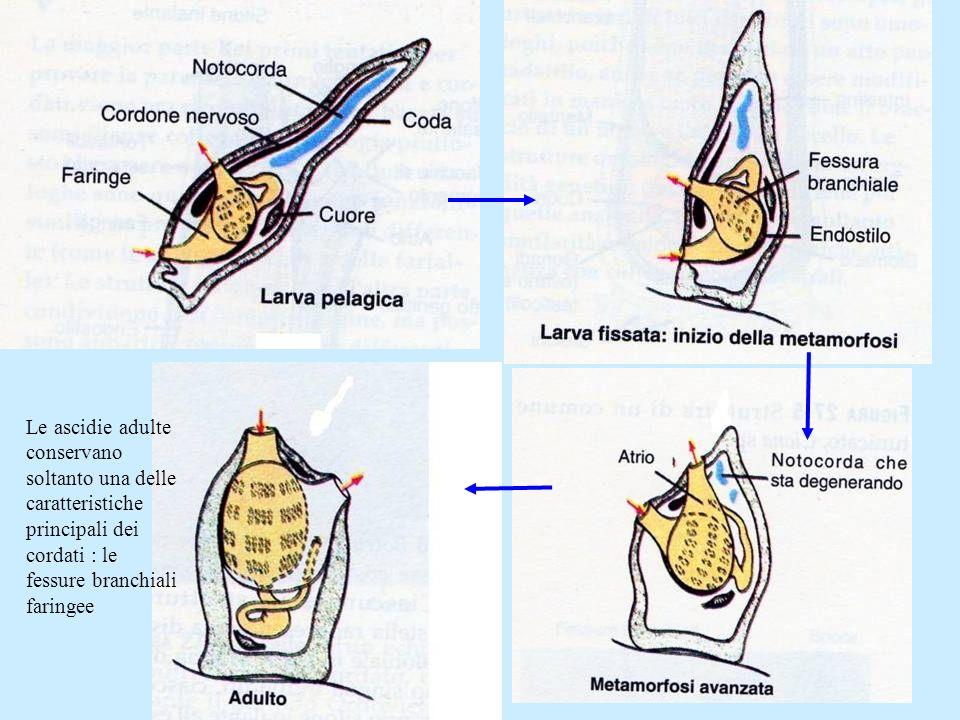Le ascidie adulte conservano soltanto una delle caratteristiche principali dei cordati : le fessure branchiali faringee