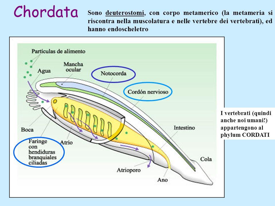 Chordata Sono deuterostomi, con corpo metamerico (la metameria si riscontra nella muscolatura e nelle vertebre dei vertebrati), ed hanno endoscheletro