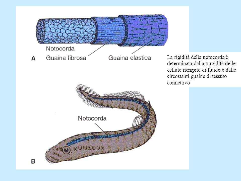 La rigidità della notocorda è determinata dalla turgidità delle cellule riempite di fluido e dalle circostanti guaine di tessuto connettivo
