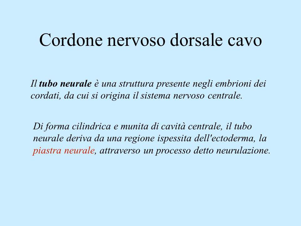 Cordone nervoso dorsale cavo Il tubo neurale è una struttura presente negli embrioni dei cordati, da cui si origina il sistema nervoso centrale. Di fo