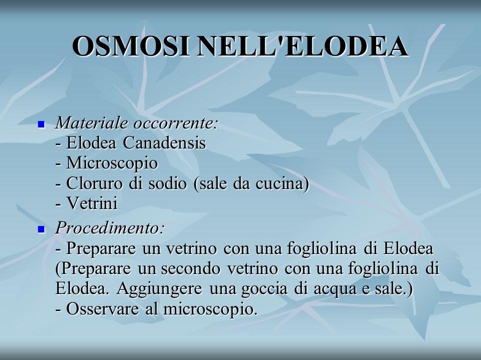 OSMOSI NELL ELODEA Materiale occorrente: - Elodea Canadensis - Microscopio - Cloruro di sodio (sale da cucina) - Vetrini Materiale occorrente: - Elodea Canadensis - Microscopio - Cloruro di sodio (sale da cucina) - Vetrini Procedimento: - Preparare un vetrino con una fogliolina di Elodea (Preparare un secondo vetrino con una fogliolina di Elodea.