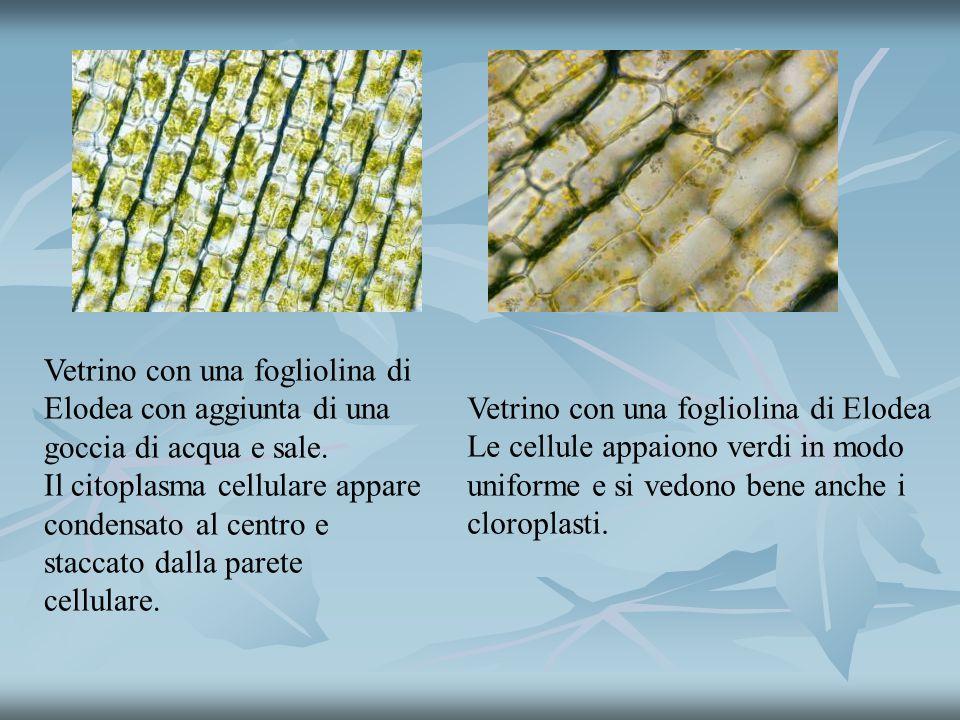 Vetrino con una fogliolina di Elodea Le cellule appaiono verdi in modo uniforme e si vedono bene anche i cloroplasti.
