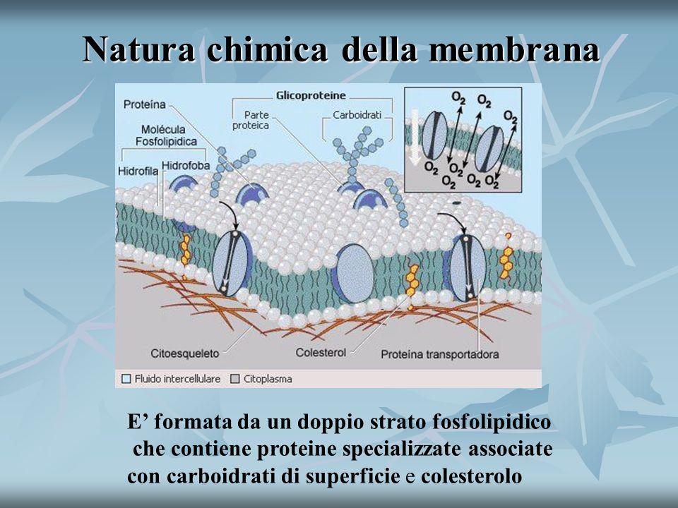 Natura chimica della membrana E formata da un doppio strato fosfolipidico che contiene proteine specializzate associate con carboidrati di superficie e colesterolo