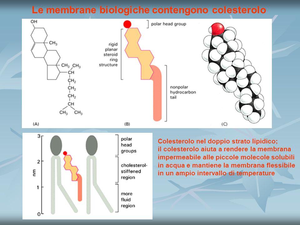 Le membrane biologiche contengono colesterolo Colesterolo nel doppio strato lipidico; il colesterolo aiuta a rendere la membrana impermeabile alle piccole molecole solubili in acqua e mantiene la membrana flessibile in un ampio intervallo di temperature