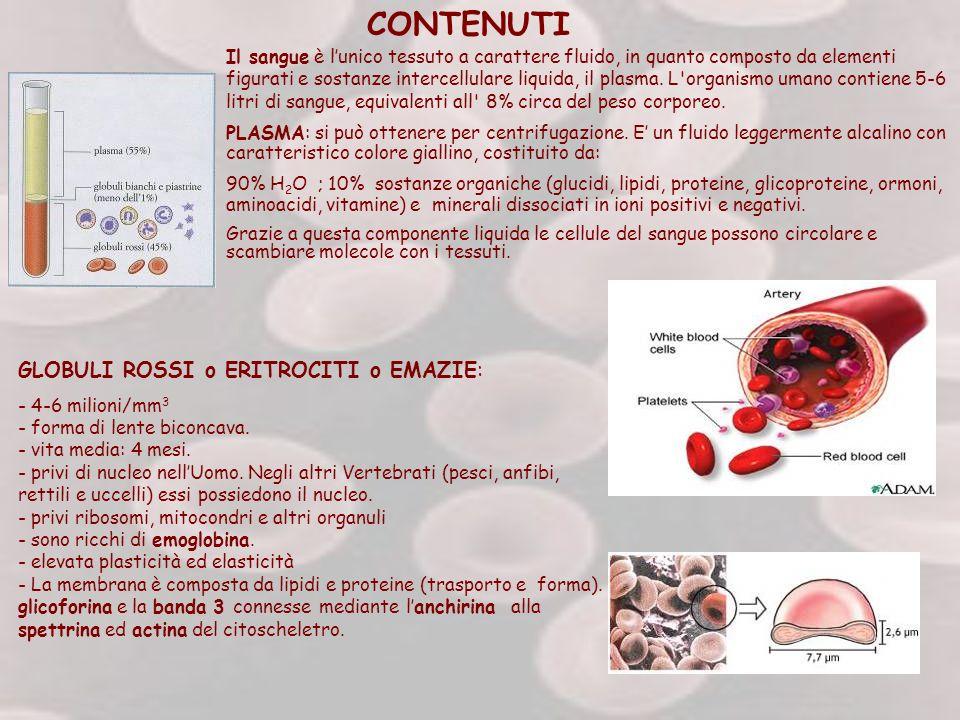 CONTENUTI Il sangue è lunico tessuto a carattere fluido, in quanto composto da elementi figurati e sostanze intercellulare liquida, il plasma. L'organ