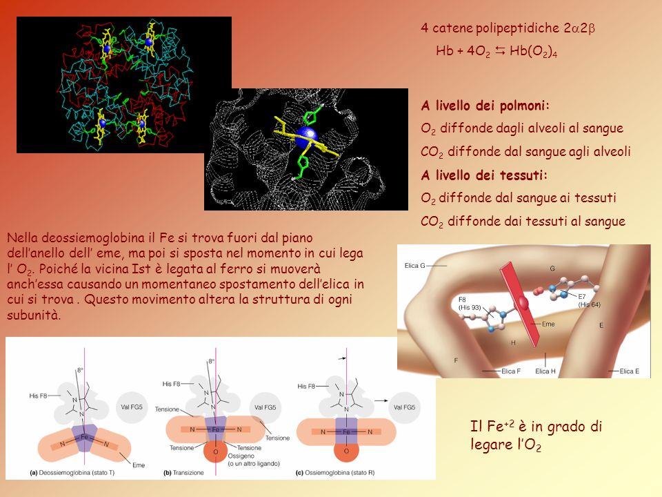 4 catene polipeptidiche 2 2 Hb + 4O 2 Hb(O 2 ) 4 A livello dei polmoni: O 2 diffonde dagli alveoli al sangue CO 2 diffonde dal sangue agli alveoli A l
