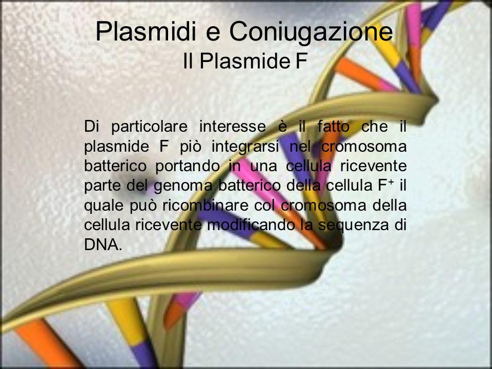 Plasmidi e Coniugazione Il Plasmide F Di particolare interesse è il fatto che il plasmide F piò integrarsi nel cromosoma batterico portando in una cellula ricevente parte del genoma batterico della cellula F + il quale può ricombinare col cromosoma della cellula ricevente modificando la sequenza di DNA.