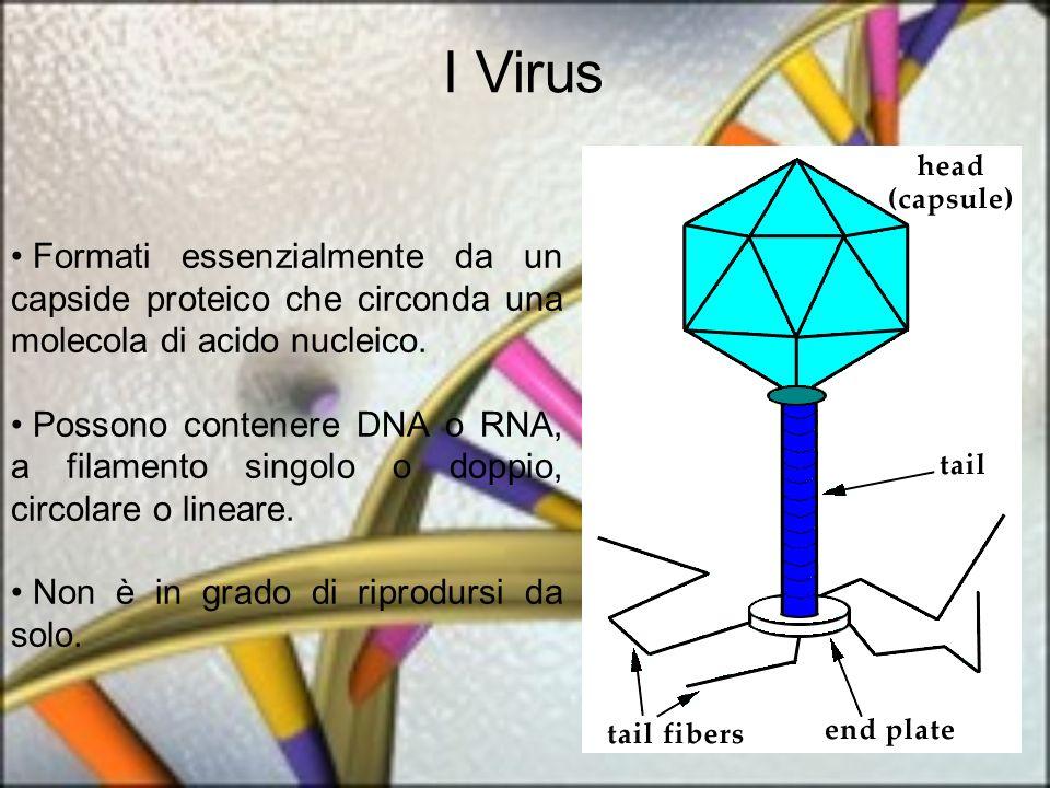I Virus Formati essenzialmente da un capside proteico che circonda una molecola di acido nucleico. Possono contenere DNA o RNA, a filamento singolo o