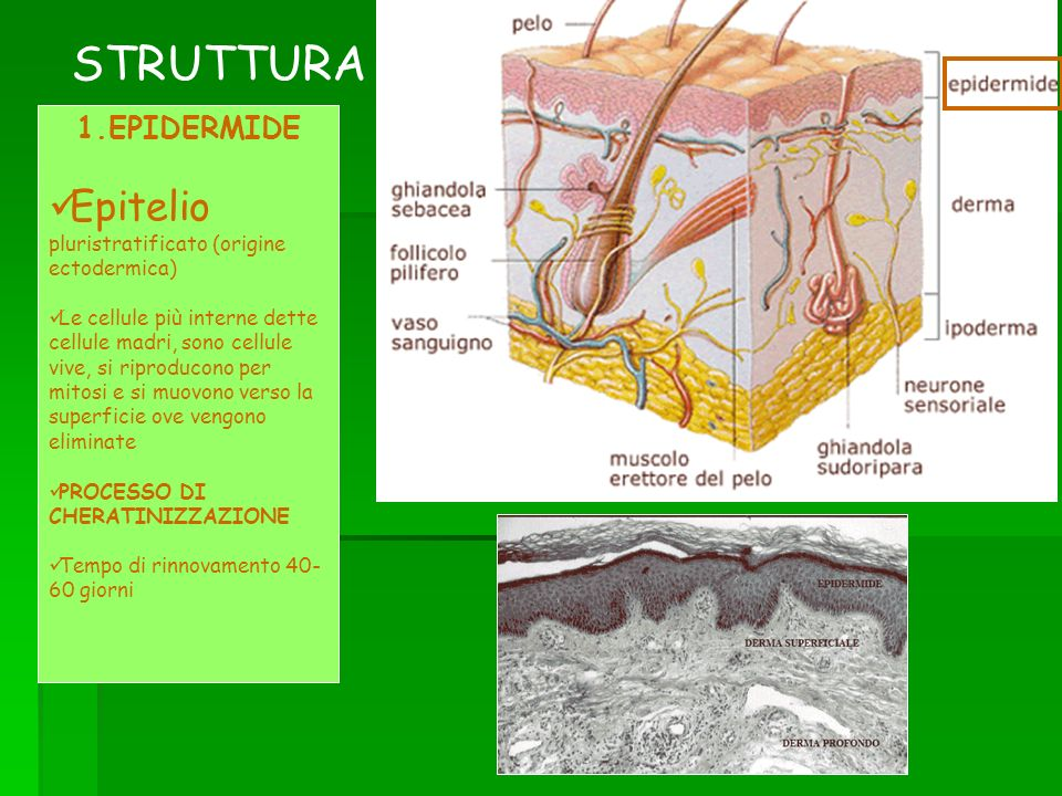 STRUTTURA 1.EPIDERMIDE Epitelio pluristratificato (origine ectodermica) Le cellule più interne dette cellule madri, sono cellule vive, si riproducono per mitosi e si muovono verso la superficie ove vengono eliminate PROCESSO DI CHERATINIZZAZIONE Tempo di rinnovamento 40- 60 giorni