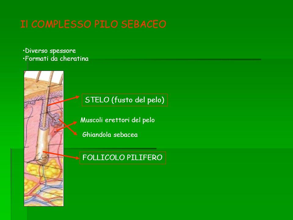Il COMPLESSO PILO SEBACEO Diverso spessore Formati da cheratina FOLLICOLO PILIFERO Muscoli erettori del pelo Ghiandola sebacea STELO (fusto del pelo)
