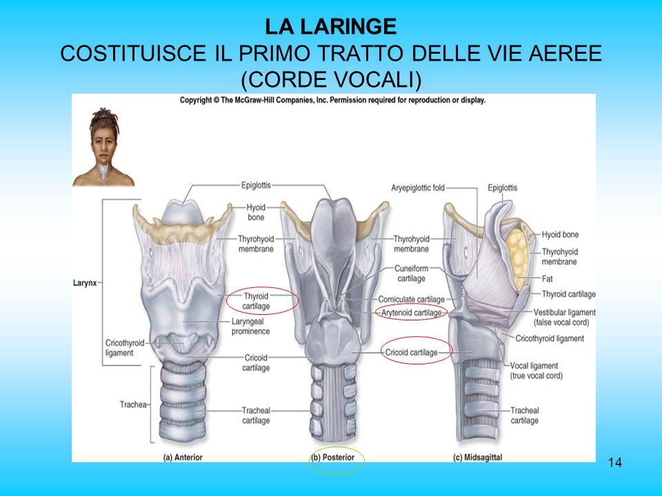 14 LA LARINGE COSTITUISCE IL PRIMO TRATTO DELLE VIE AEREE (CORDE VOCALI)