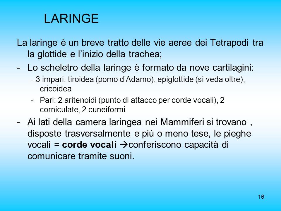 16 LARINGE La laringe è un breve tratto delle vie aeree dei Tetrapodi tra la glottide e linizio della trachea; -Lo scheletro della laringe è formato d