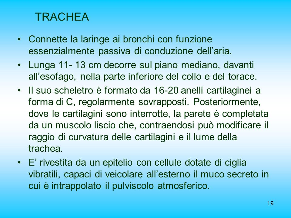 19 TRACHEA Connette la laringe ai bronchi con funzione essenzialmente passiva di conduzione dellaria. Lunga 11- 13 cm decorre sul piano mediano, davan