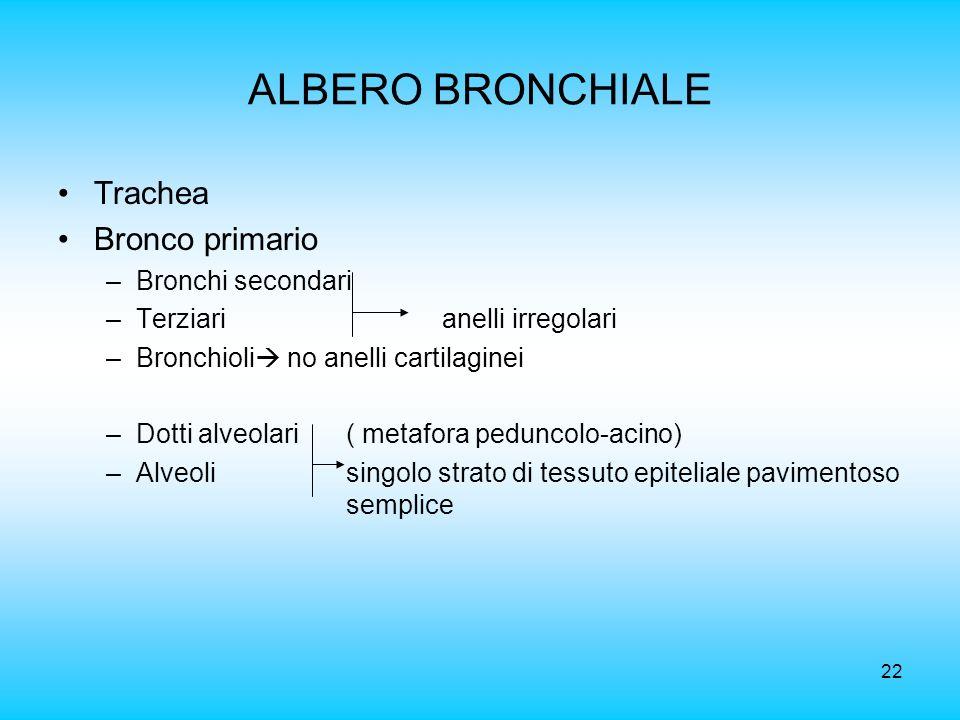 22 ALBERO BRONCHIALE Trachea Bronco primario –Bronchi secondari –Terziarianelli irregolari –Bronchioli no anelli cartilaginei –Dotti alveolari ( metaf