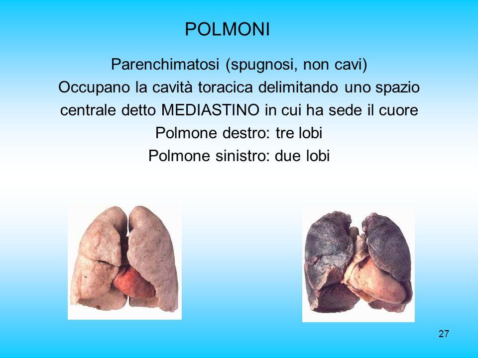 27 POLMONI Parenchimatosi (spugnosi, non cavi) Occupano la cavità toracica delimitando uno spazio centrale detto MEDIASTINO in cui ha sede il cuore Po