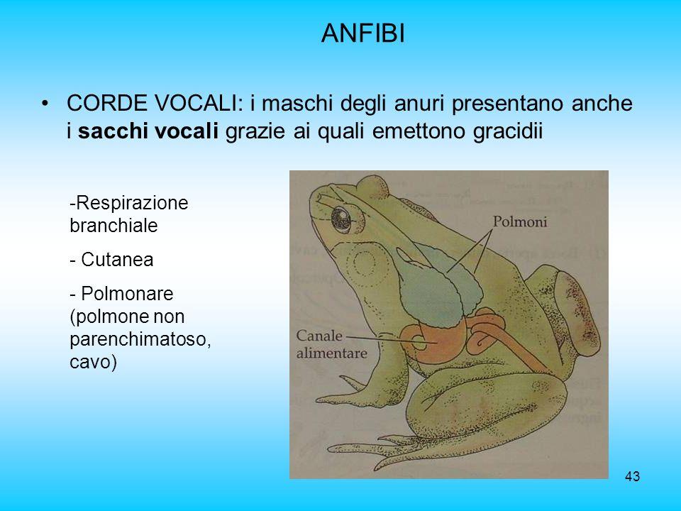 43 ANFIBI CORDE VOCALI: i maschi degli anuri presentano anche i sacchi vocali grazie ai quali emettono gracidii -Respirazione branchiale - Cutanea - P