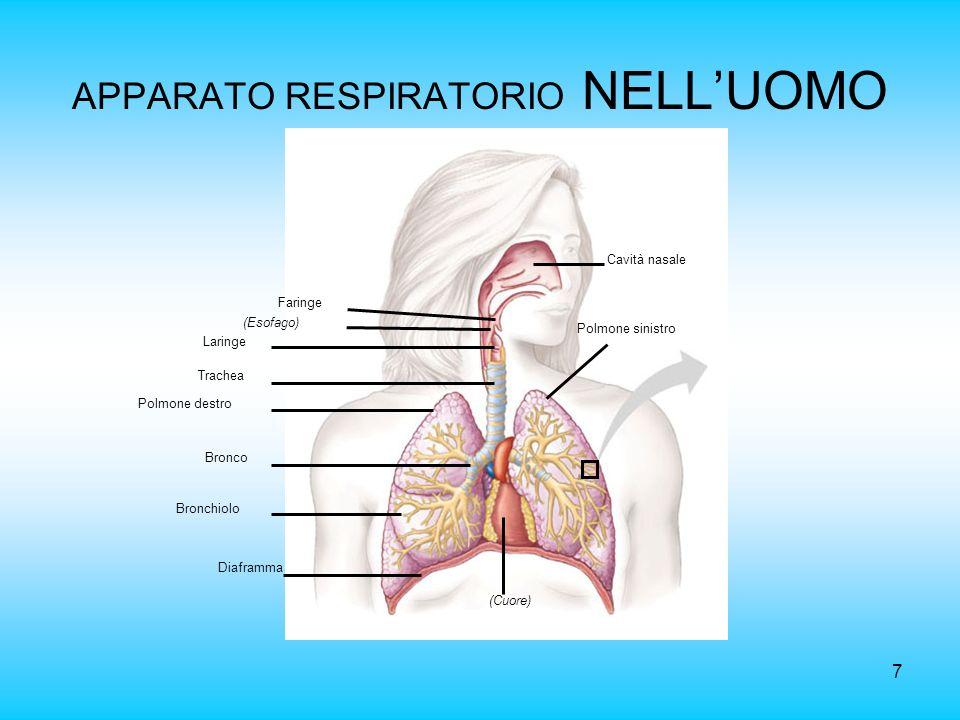 7 APPARATO RESPIRATORIO NELLUOMO (Cuore) Diaframma Bronchiolo Bronco Polmone destro Trachea Laringe (Esofago) Faringe Cavità nasale Polmone sinistro