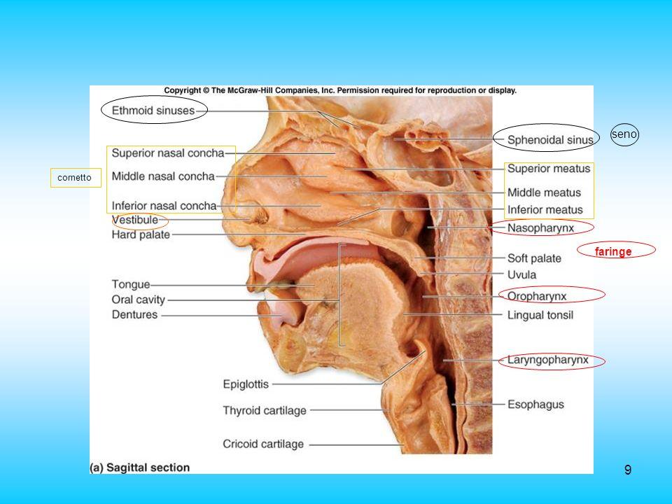 9 cornetto seno faringe
